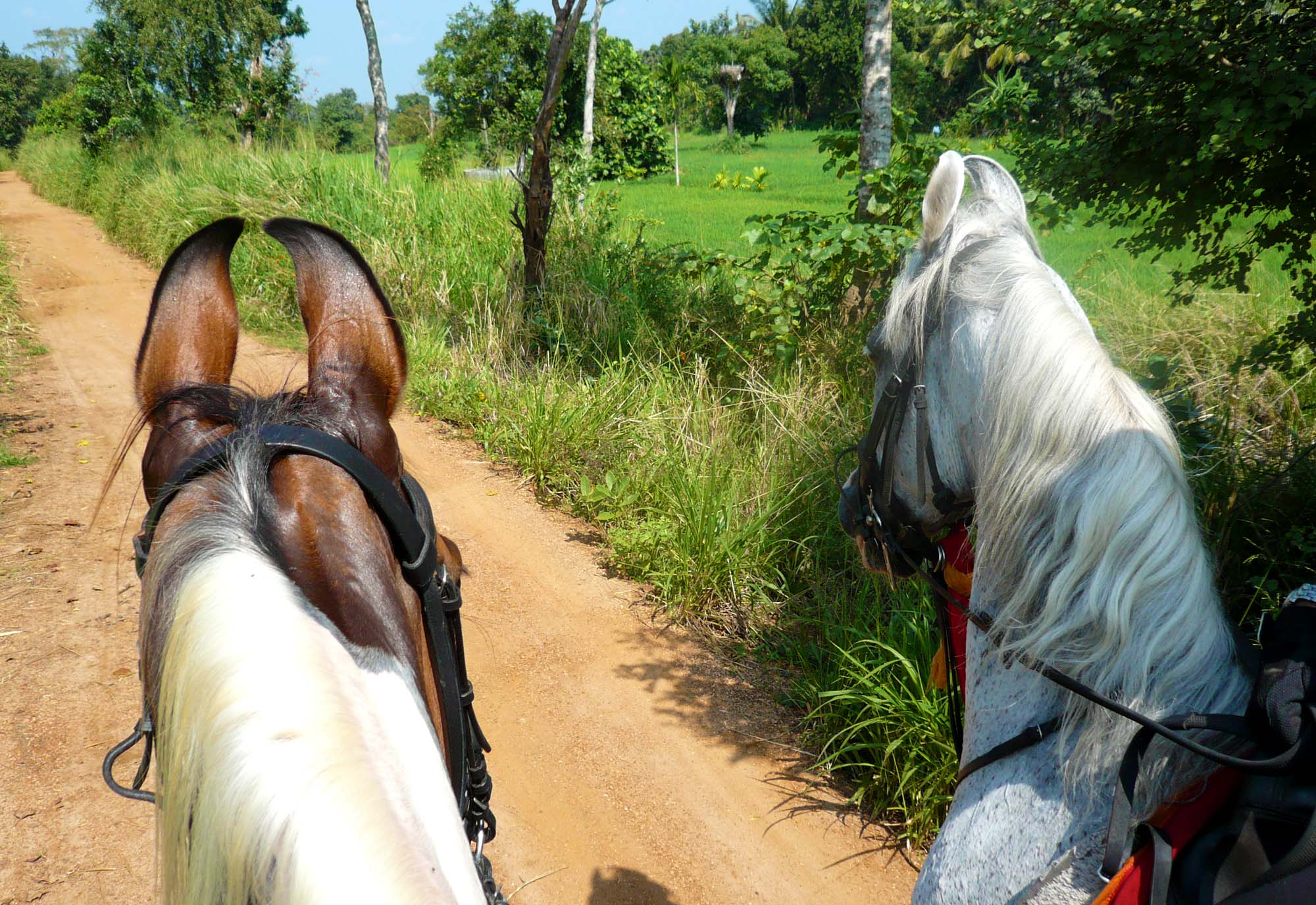 ©Randocheval - Sri Lanka/Chevaux Marwaris